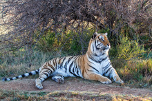 Tiger Resting In The Shade In ...
