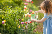 Little Girl Watering Daffodils Flowers In The Garden