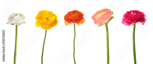 Fotomural Set of beautiful ranunculus flowers on white background