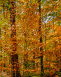 vertical fall foliage trees with orange and yellow leaves in a forest