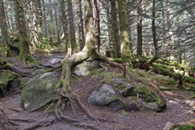 Old Tree Roots Gripping Rocks On Mount Mitchell, North Carolina