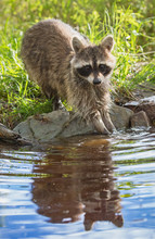 A Raccoon With Hands In Pond.