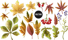 Set Of Autumn Yellow Leaves And Berries. Vector Illustration.