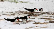 A Family Of Black Skimmer Birds
