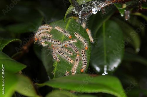 Fotografía  チャドクガ幼虫、有毒の毛虫