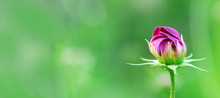 Delicate Cosmos Flower On Blur...