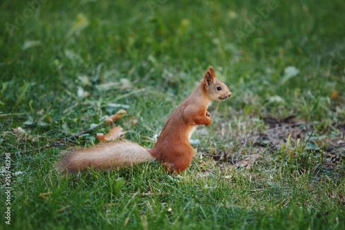 Aluminium Prints Squirrel Red Squirrel