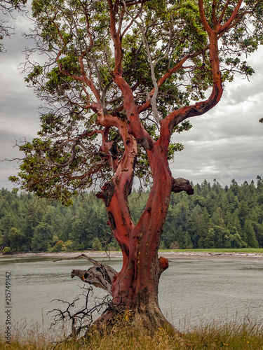 Photo Pacific Madrona Pacific Madrona also kown as an Arbutus Tree photographed on Tumbo Island in Southern British Columbia