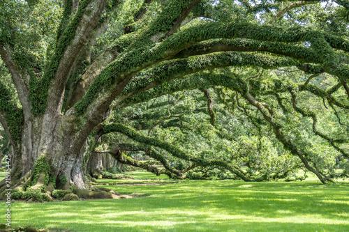 Fotobehang Bossen 300 year old Oak Trees