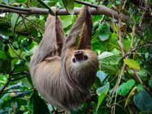 Staring Sloth