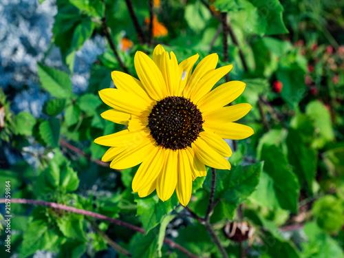 Valokuva  black eyed susan flower in bloom
