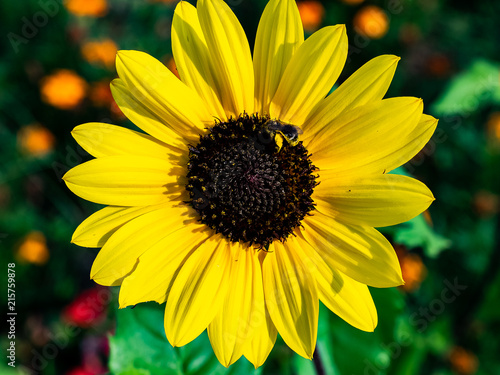 Fotografija  honey bee visits a black eyed susan flower