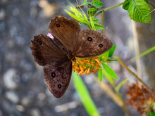 Brown Wood Nymph Butterfly Feeding On A Flower