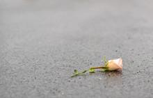 The Fallen Broken Rose Lies On The Wet Asphalt After The Rain