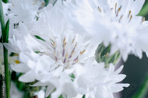 Fototapety, obrazy: beautiful white wild flowers cornflowers close-up