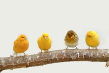 Four Canary Birds (Serinus Can...
