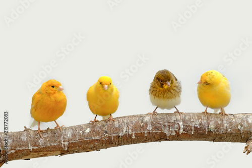 Four canary birds (Serinus canaria) siting in a branch Obraz na płótnie