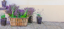 Bunch Of Lavender Flowers In A Rustic Wooden Basket, Plants In Pot With Fresh Lavender On The Floor. Decoration At Shop In Valensole, Provence, France.