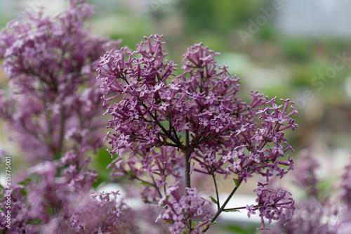 Fotobehang Lilac Dwarf Korean lilac tree flower close up, syringa oleaceae