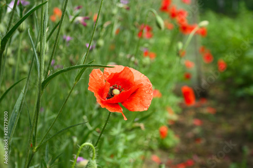Foto op Aluminium Klaprozen poppy field red bud close up natural background