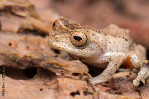 Tuinposter Kikker Cuter Frog of Borneo