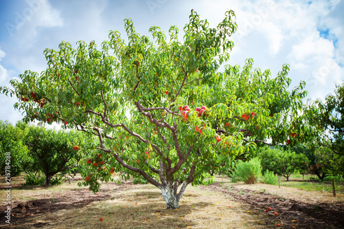 Fotomural Peach tree with fruits growing in the garden. Peach orchard.