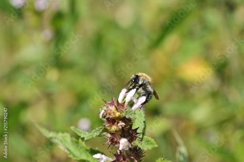 Fotografía  Wildbliene auf der Blume