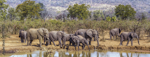 Photo Stands South Africa African bush elephant in Kruger National park, South Africa; Specie Loxodonta africana family of Elephantidae