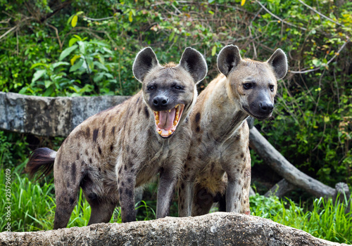 Spoed Foto op Canvas Hyena Family spotted hyena in the wild.