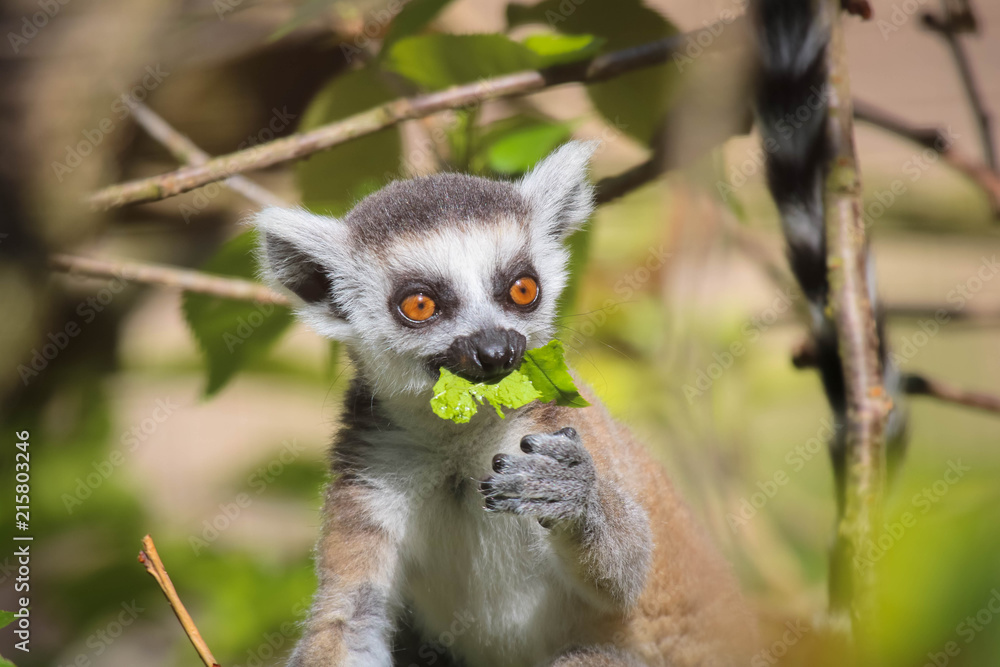 Fototapeta Lemur