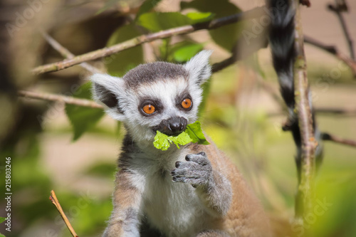 Fotografie, Obraz  Lemur