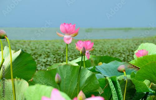Fotobehang Lotusbloem Flowering of the lotus in the estuary, beautiful pink flowers.