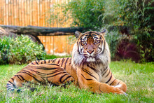 Bengal Tiger In Zoo. Animals I...