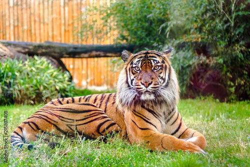 Photo Bengal tiger in zoo. Animals in captivity.