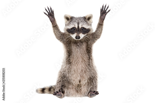 Portrait of a funny raccoon sitting with paws raised, isolated on white background
