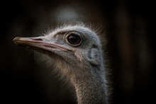 Ostrich Portrait Close-up With Dark Background