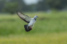 Pigeons Or Rock Dove Flying In...