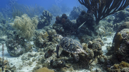 Foto op Canvas Onder water Hawksbill Sea Turtle swim in coral reef in the Caribbean Sea at scuba dive around Curacao /Netherlands Antilles