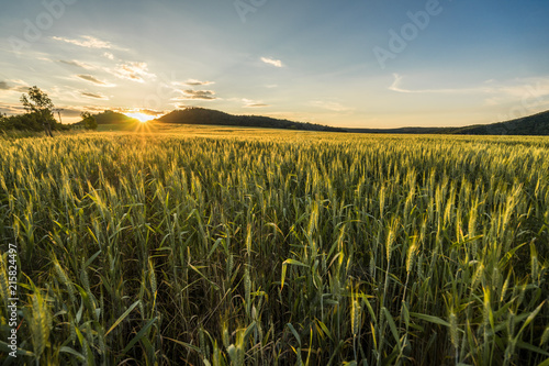 Tablou Canvas Beautiful barley field in sunset or sunrise