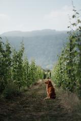 Fototapetadog in a vineyard in nature. A pet in the summer, Nova Scotia Duck Tolling Retriever
