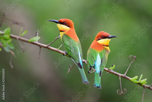 Chestnut-headed Bee-eater - Merops leschenaulti, beautiful colorful bee-eater from Sri Lankan woodlands and bushes Canvas Print