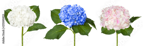 Fotografie, Tablou Nice white blue and pink hydrangeas