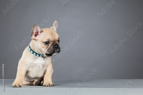 Foto op Plexiglas Franse bulldog French Bulldog Puppy Leaning and Looking to the Right Side