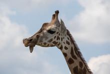 Giraffe Closeup Tongue Funny S...