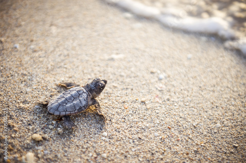 Fototapeta Beautiful freshly hatched baby turtle making its way from the nest, down a sandy beach to the ocean at dawn
