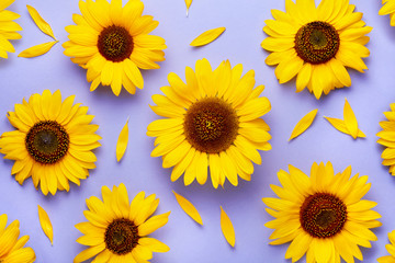Sunflower pattern background on a purple background viewed from above. Top view.