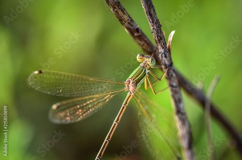 Plakat Dragonfly siedzi na łodydze