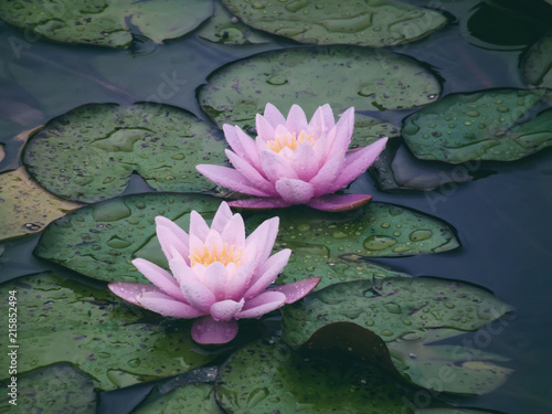 Two beautiful pink water lilies close-up. Raindrops on the petals. Bright lotus in the garden pond after the rain.