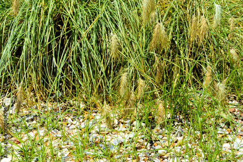 Fotografie, Obraz  vegetable background wet grass sedge with spikelets and rubble