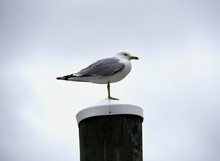 A Lone Seagull Sitting On A Pi...